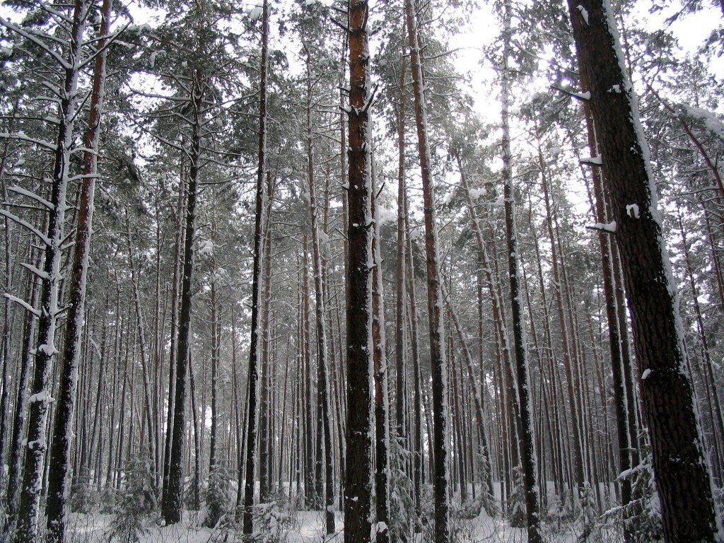 cz p wysokie drzewa