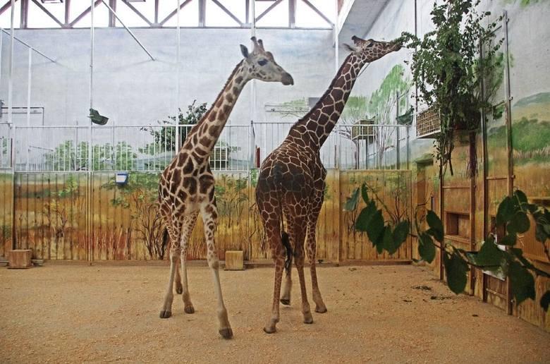 żyrafy zamojskie